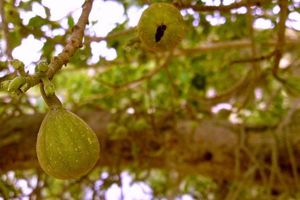 Сикомор  Ficus_sycomorus_03
