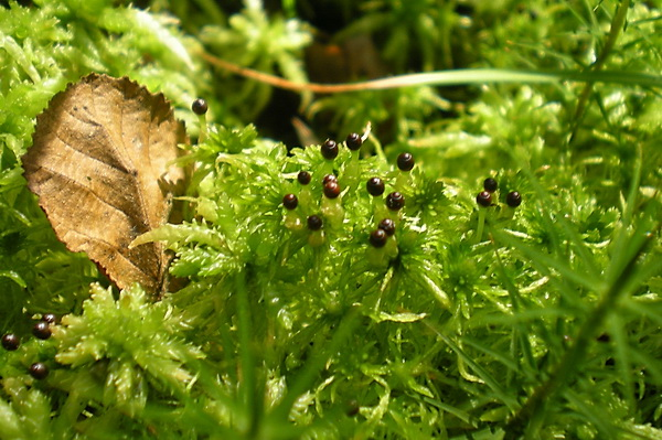 http://natureworld.ru/misc/plants/speed_plants/sphagnum.jpg