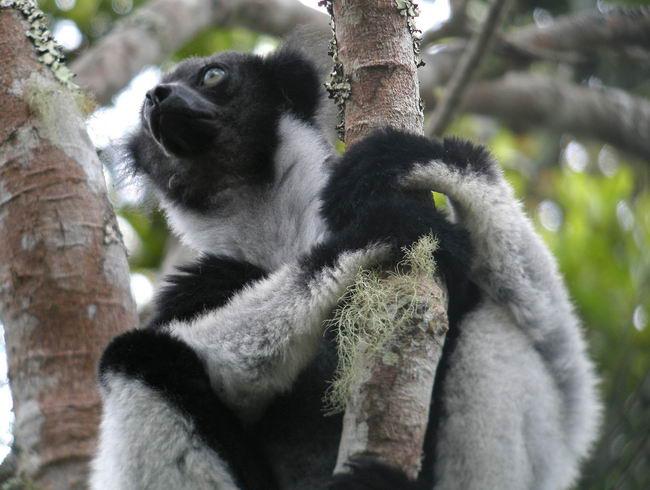 Лемур индри (Indri indri)