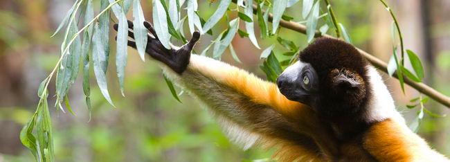 Лемури (Lemurs)
