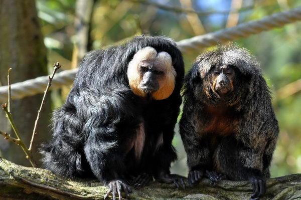 Мавпи Саки (Pithecia)