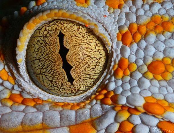Гекконы токи Gecko_toki_01