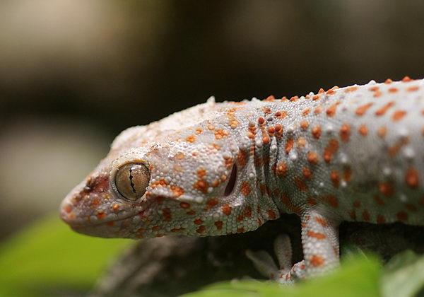 Гекконы токи Gecko_toki_02