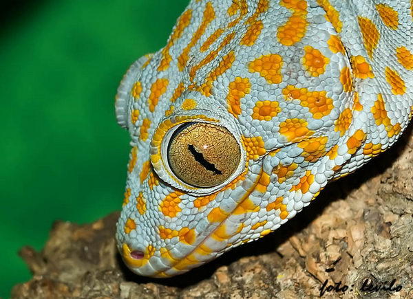 Гекконы токи Gecko_toki_04