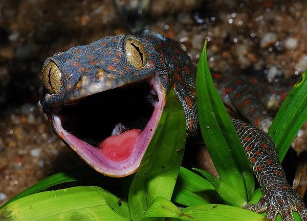 Гекконы токи Gecko_toki_05
