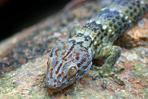 Гекконы токи Gecko_toki_06