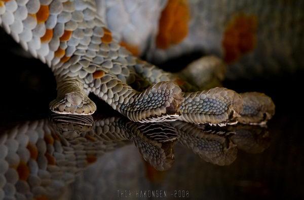 Гекконы токи Gecko_toki_07