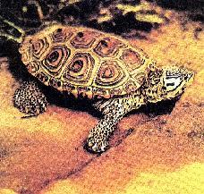 Горбкувата черепаха