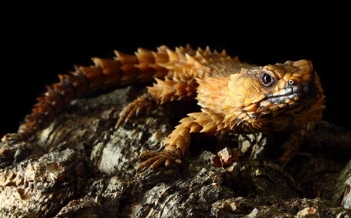 Малый поясохвост (Cordylus cataphractus)