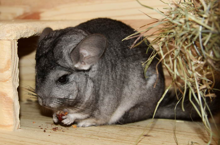 Шиншилла (Chinchilla)
