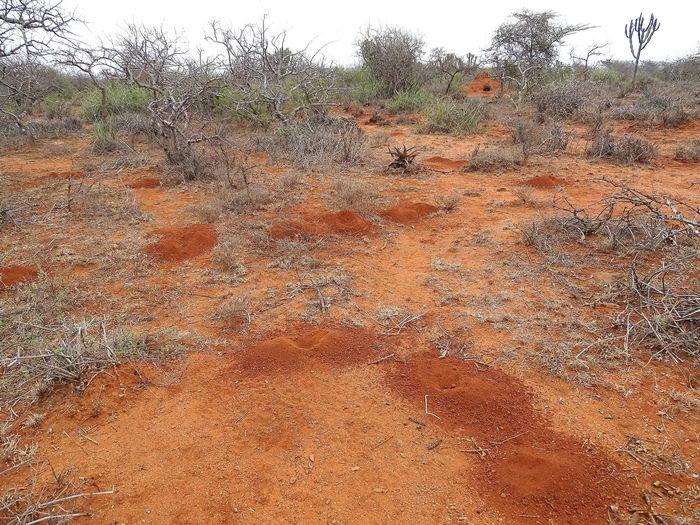Голый землекоп (Heterocephalus glaber)