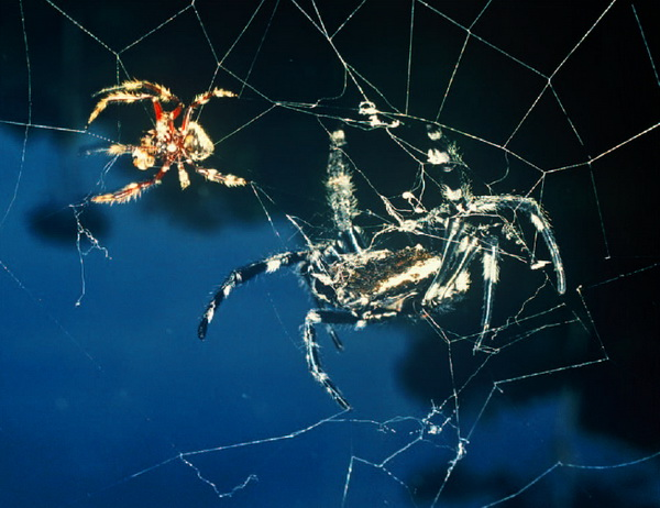 Паук Дарвина – творец уникальных сетей Darwin_spider_web_creator_04