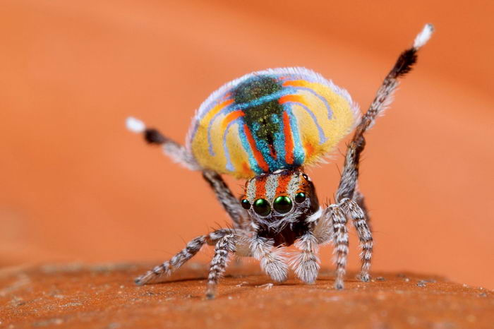 Peacock jumping spiders - photo#19