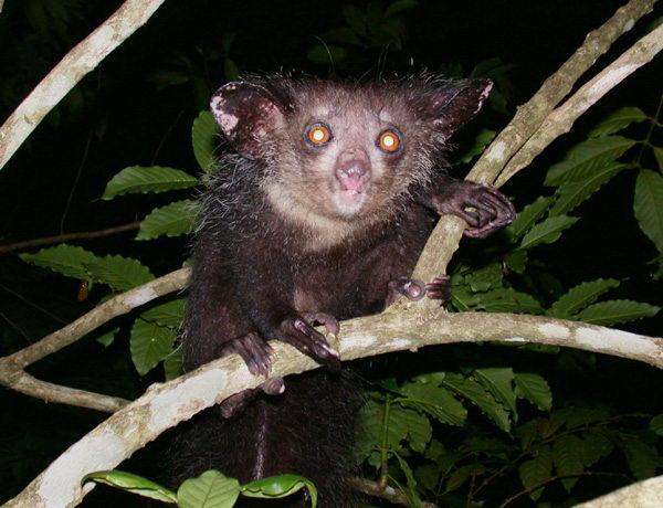 Мадагаскарская руконожка – Айе-Айе - Животные и природа