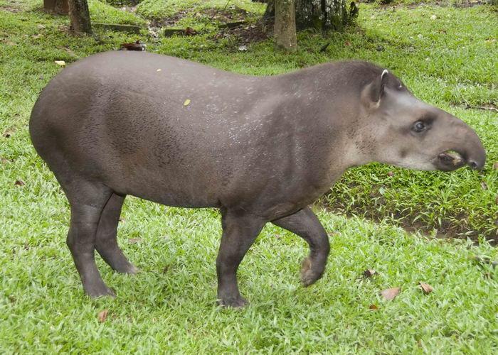 тапиры Tapirus_terrestris_04