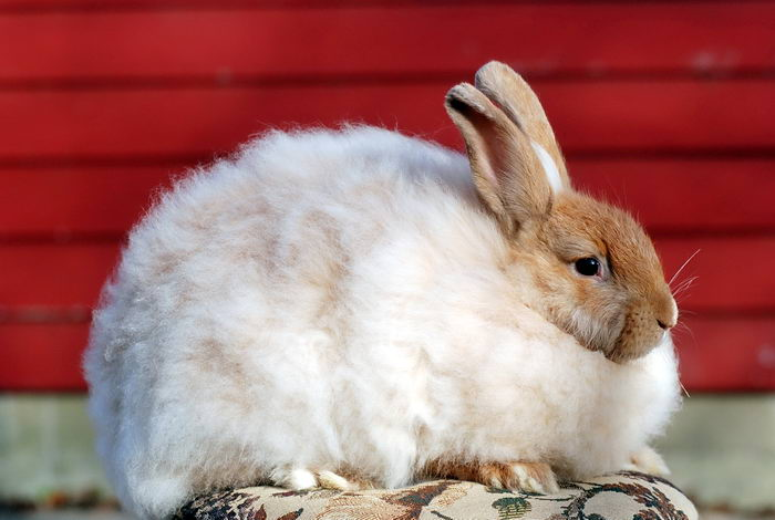 ангорський Кролик – дамський кролик