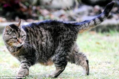 Новий рекорд довгожительства серед кішок