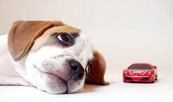найдорожчі в утриманні собаки