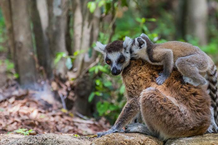 Кошачие лемуры (Lemur catta)