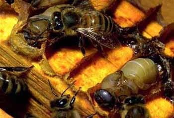 Політ бджоли і банку меду