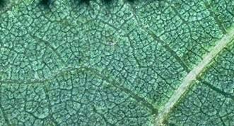 Дыхание растений - устьица на листьях