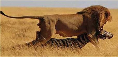 Лев тоже привередничает в еде