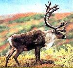 Самка оленя с рогами