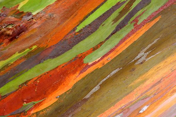 Древесина радужного эвкалипта
