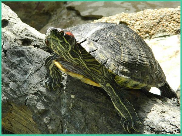 Черепаха в зоопарке - стих