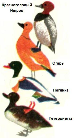 разновидности диких уток фото и название