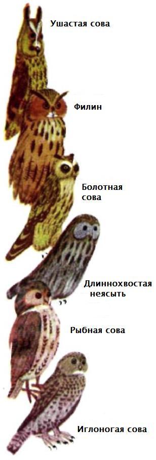 Ночные хищные птицы - виды птиц-ночных хищников: Ушастая сова.