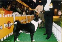 Собачьи выставки со спортивным интересом