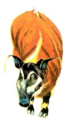 Африканский бородавочник рыжий