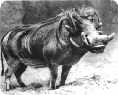Африканские бородавочники не так массивны, как европейские и азиатские кабаны, но верхние клыки у них как сабли: длиной бывают до 63 сантиметров