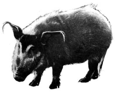 Гигантская лесная и кистеухая, или речная, свинья, изображенная здесь, — два других вида диких свиней Африки. Оба крупнее бородавочников: вес кистеухих свиней до 135, а гигантских лесных — до 275 килограммов.