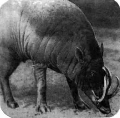 Бабируса, которая обитает только на Сулавеси и некоторых малых островах (Буру, Сула, Согиан), весит не больше 90 килограммов, но у нее парадоксальные верхние клыки: они не только чересчур велики, но и растут не сбоку от губы, как у других свиней, а пронзают насквозь верхнюю челюсть. Местные легенды рассказывают, что, уцепившись этими невероятными клыками за сук, бабирусы спят будто бы на весу.