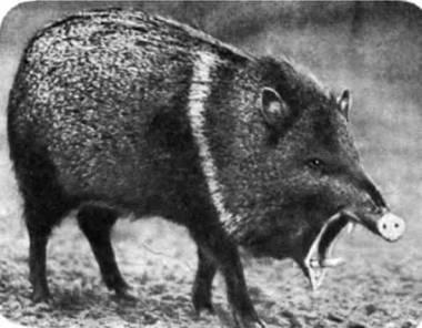 Ошейниковый пекари. В Мексике и Южной Америке обитает еще белогубый пекари. Пекари похожи на свиней и близки им по крови, но отличаются, например, тем, что верхние клыки растут у них не вверх, а вниз.