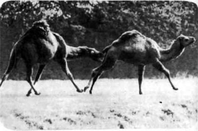 Где родина диких одногорбых верблюдов, не известно. Одни ученые считают, что диких дромадеров никогда не было: это особая порода двугорбых верблюдов. Мнение других знатоков — родина диких дромадеров Аравия, но они там давно уже все истреблены.