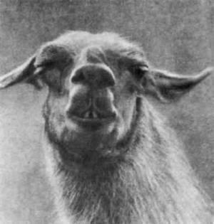 Лама, единственное вьючное животное приручённое в Америке. Ещё до завоевания испанцами перу триста тысяч домашних лам переноили вьюки на серебряных рудниках этой страны.