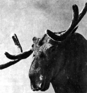 Больше лося нет в мире оленя: рост самых крупных лосей — 190 сантиметров, а вес 825 килограммов.