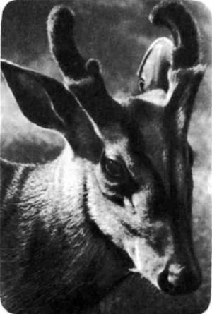 Мунтжак — один из немногих примитивных оленей, у которых и рога и клыки. Мунтжак, кусая клыками, наносит довольно болезненные раны собакам, атакующим его.