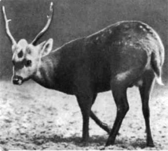 Четыре вида оленей в роде аксис. Обитают они в негустых джунглях и на лугах с невысокой травой в Индии, на Цейлоне, в Индокитае и один вид на Филиппинах. Свиновидный аксис — самый мелкий из них.