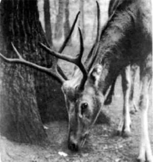 Прежде стада этих оленей паслись на равнинах Северного Китая, но давно уже все вольные олени Давида истреблены. Уцелели только в императорском парке в Пекине. Здесь увидел их сто лет назад аббат Давид и привез две шкуры редкостных оленей в Европу. Во время боксерского восстания все олени императорского парка погибли, но еще до этого герцог Бэдфорд стал разводить оленей Давида в своем имении Вобурн-Аббей, и, это спасло их от полного вымирания. В I960 году олени из герцогского парка были привезены в Пекин и разводятся теперь и там.