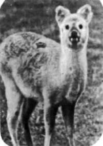 Китайский водяной олень обитает в речных камышах Китая и Кореи. Некоторые эти олени убежали из парка Вобурн-Аббей и живут на воле в Англии. Водяной олень уникален тем, что его самки рождают не одного-двух оленят, как другие олени, а четверых-семерых.
