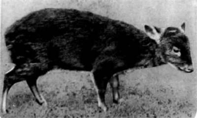 Пуду — самые крохотные из оленей, меньше их только некоторые оленьки. Пуду два вида: один обитает в Боливии и Чили, второй — в Эквадоре. Рост эквадорского пуду не больше 35 сантиметров.