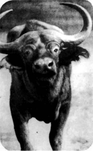 Африканский, или каффрский, буйвол для охотника в Африке самый опасный зверь. Он нередко нападает сам, не ожидая выстрела.