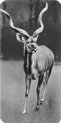 Большие куду обитают в Африке — от Эфиопии до Анголы и реки Замбези на юге. Малый куду встречается только в Сомали и на востоке Африки.