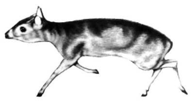 Королевская, или карликовая, антилопа — самая крохотная из антилоп: рост лишь 25 — 30 сантиметров. Прыжки ее великолепны — почти три метра в длину. Обитают королевские антилопы в Западной Африке (Либерия, Нигерия). Второй, несколько более крупный вид — в Нигерии и Камеруне.