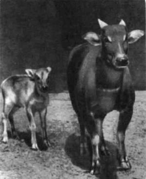 Целебесский карликовый буйвол аноа. Рост в плечах не больше метра.