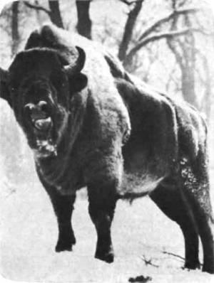 Зубр. Он не менее горбат, чем бизон, и голову носит выше.